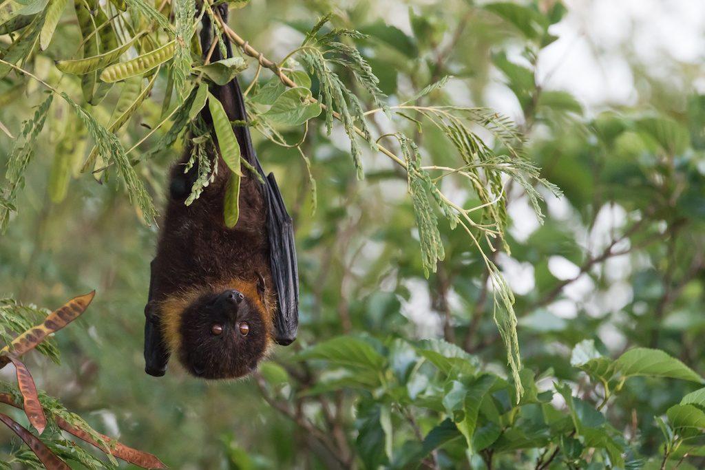 沖縄のオオコウモリ
